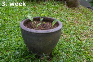3-week