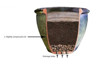 How to grow turmeric in a pot