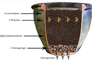 How to grow turmeric in a pot.