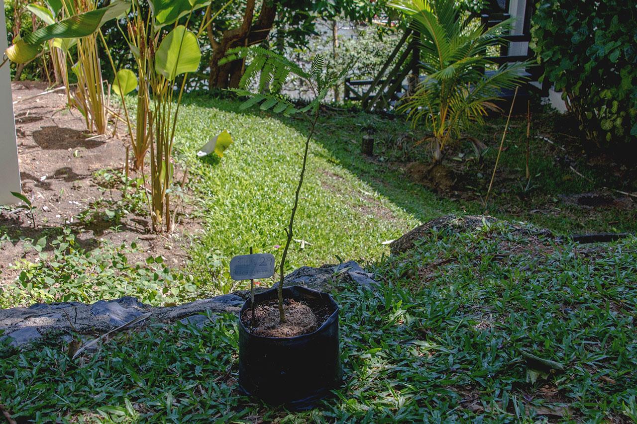 Acacia Concinna, Shikakai, Soap-Pod