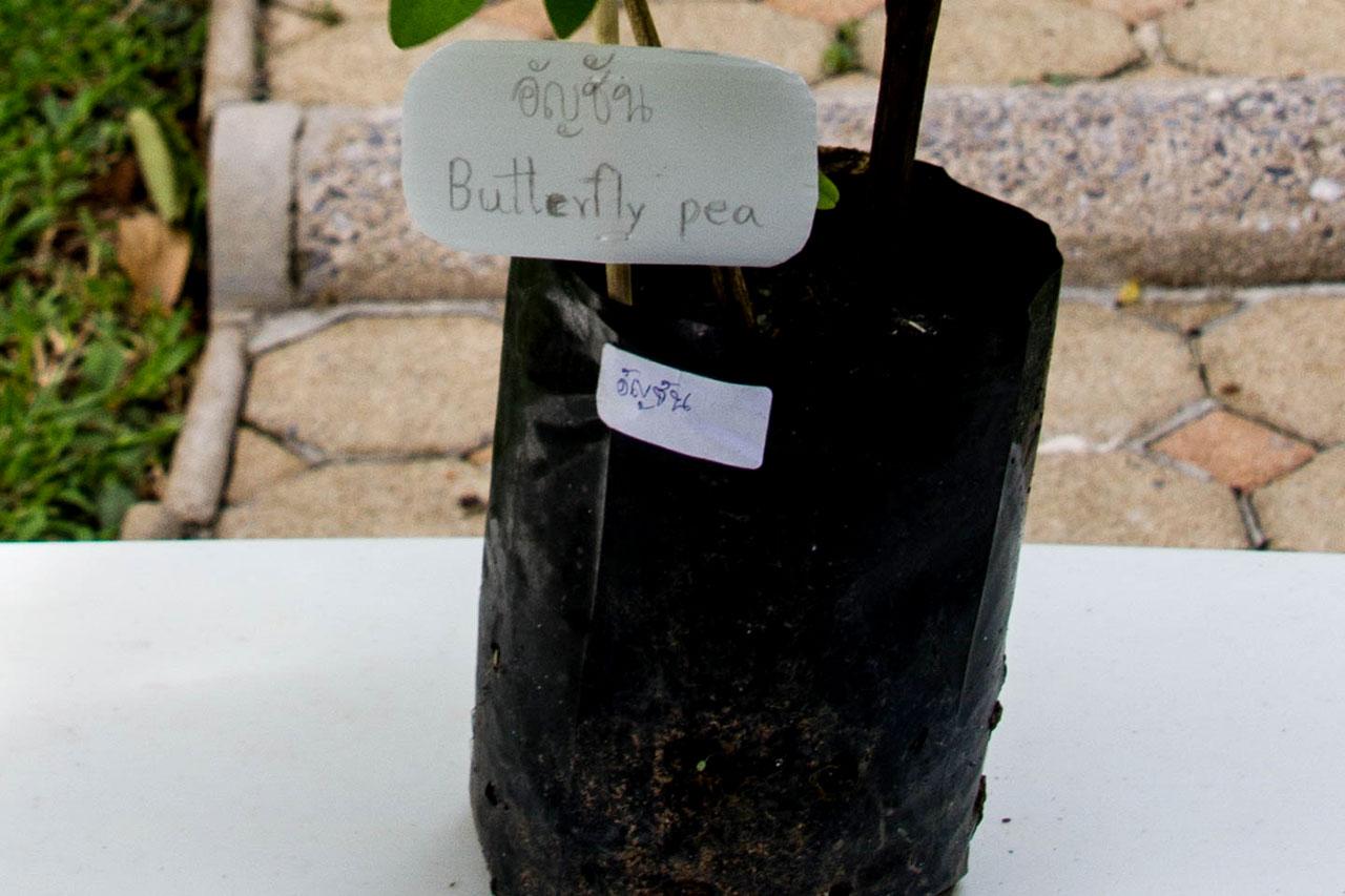 Clitoria ternatea, Butterfly pea tea