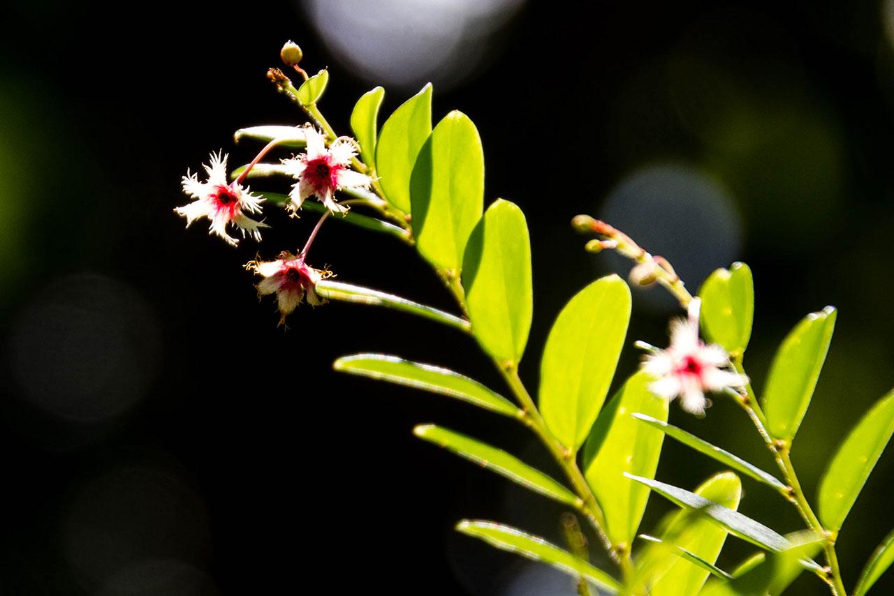 Flower of Phyllanthus pulcher
