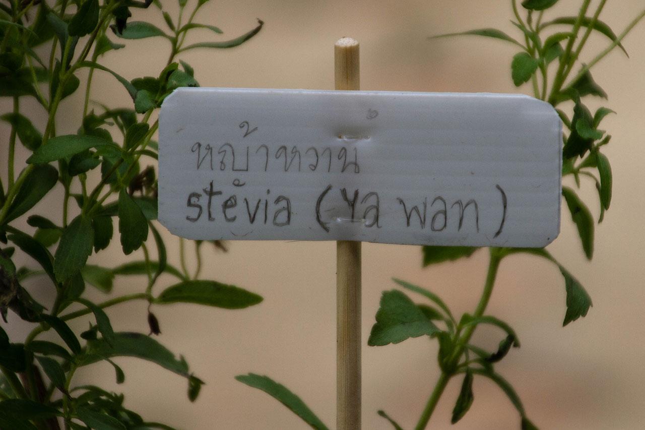 Stevia rebaudiana, Stevia, candy leaf, sweetleaf, sugarleaf