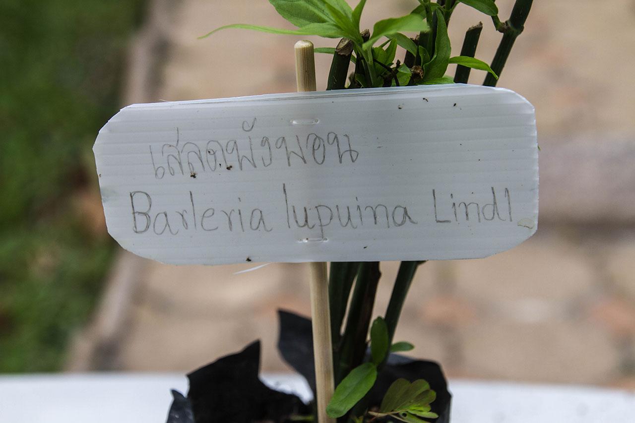 Barleria lupulina Lindl., Hop-headed Barleria
