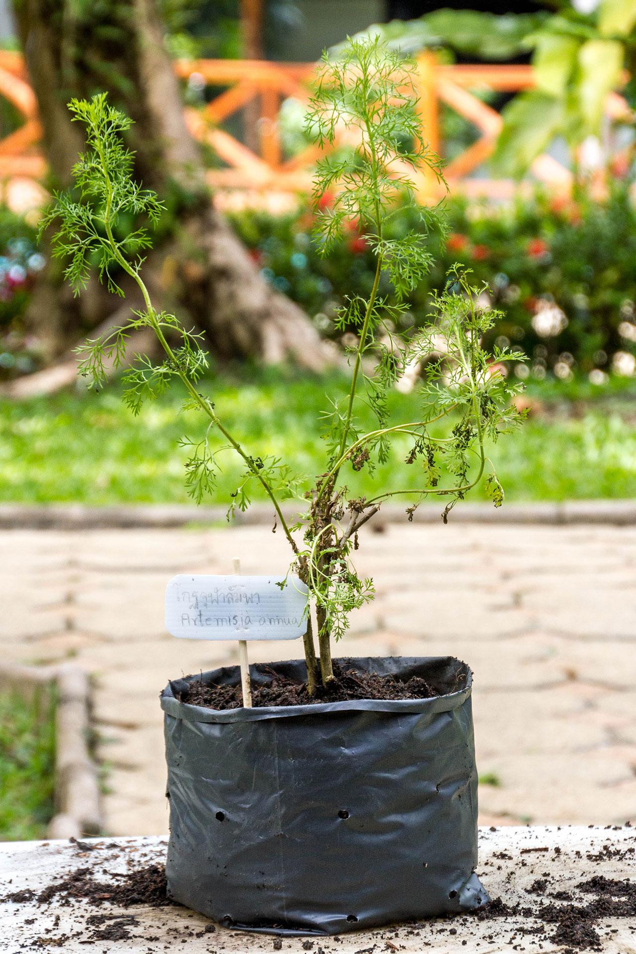 Artemisia annua, Sweet wormwood, โกฐจุฬาลัมพา