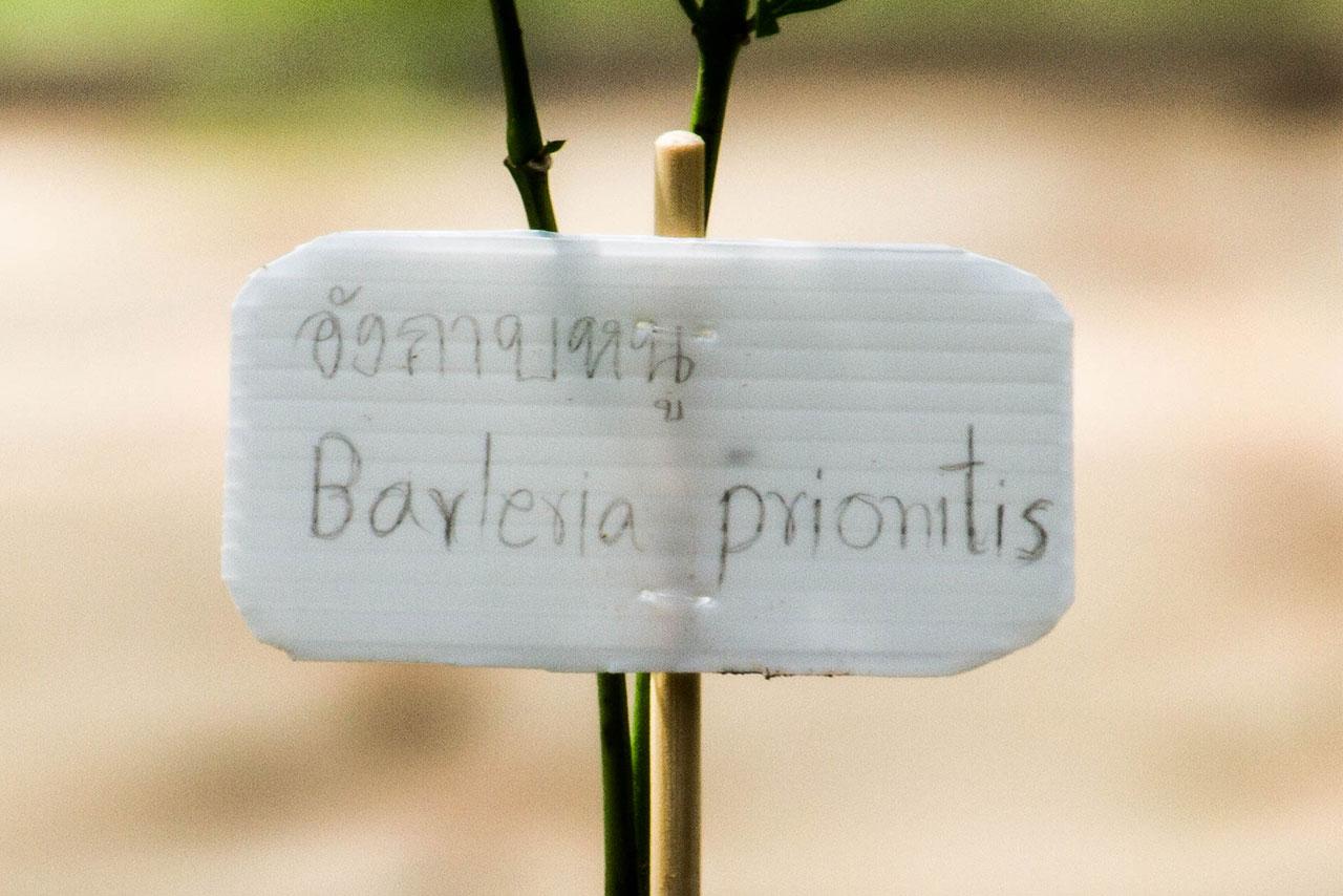 Barleria prionitis, Porcupine flower, อังกาบหนู