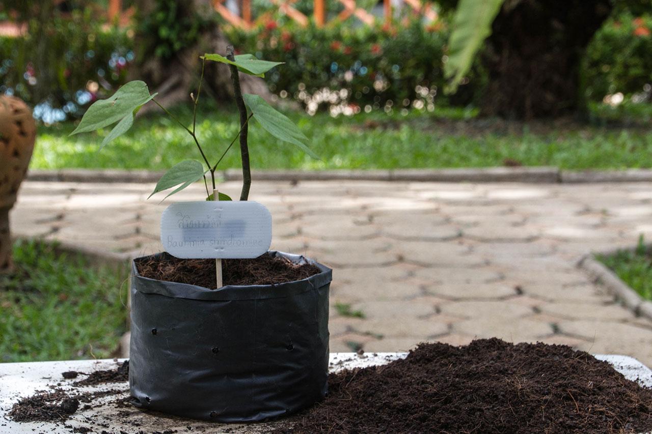 Bauhinia sirindhornia, Bauhinia Vine, สิรินธรวัลลี