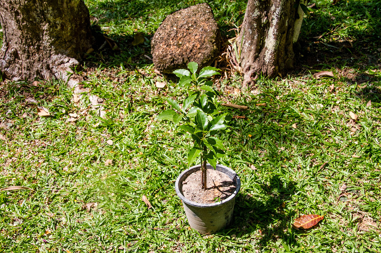 Cinnamomum camphora, Camphor tree, การบูร