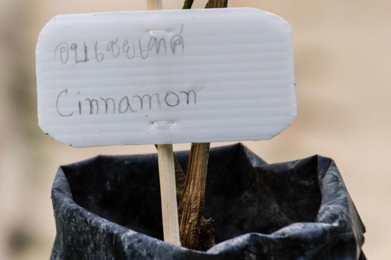 Cinnamon cassia, Chinese cinnamon, อบเชยเทศ