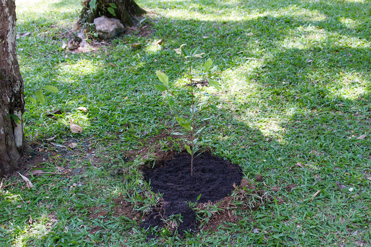 Syzygium aromaticum, Clove, กานพลู