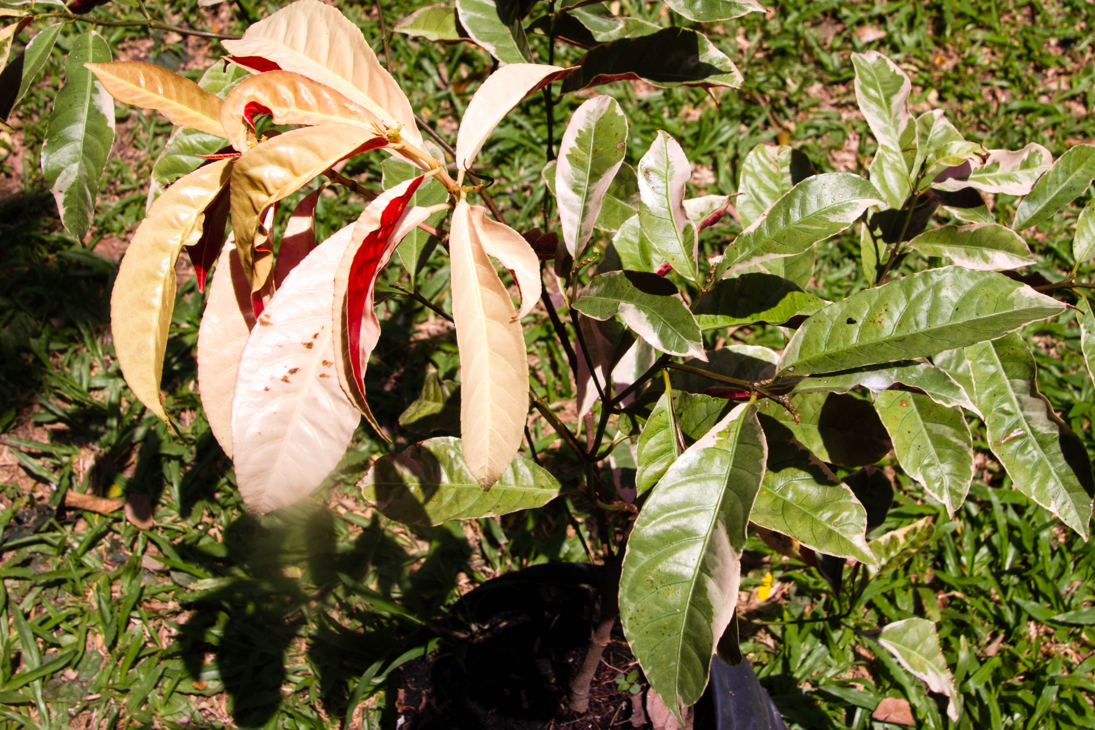Excoecaria cochinchinensis Lour., Chinese croton, กระบือเจ็ดตัว