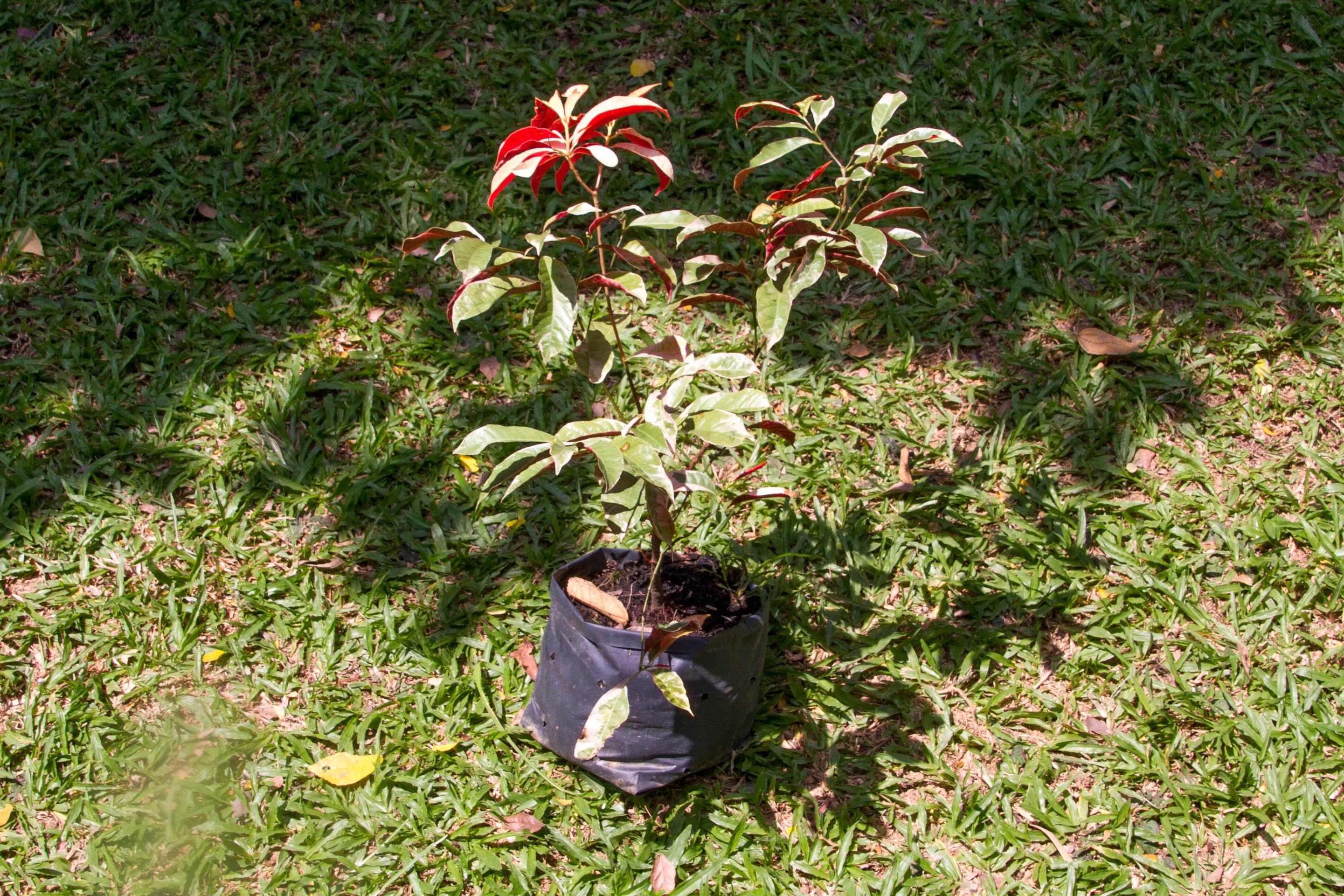 Excoecaria cochinchinensis Lour., Chinese croton, กระบือเจ็ดตัว