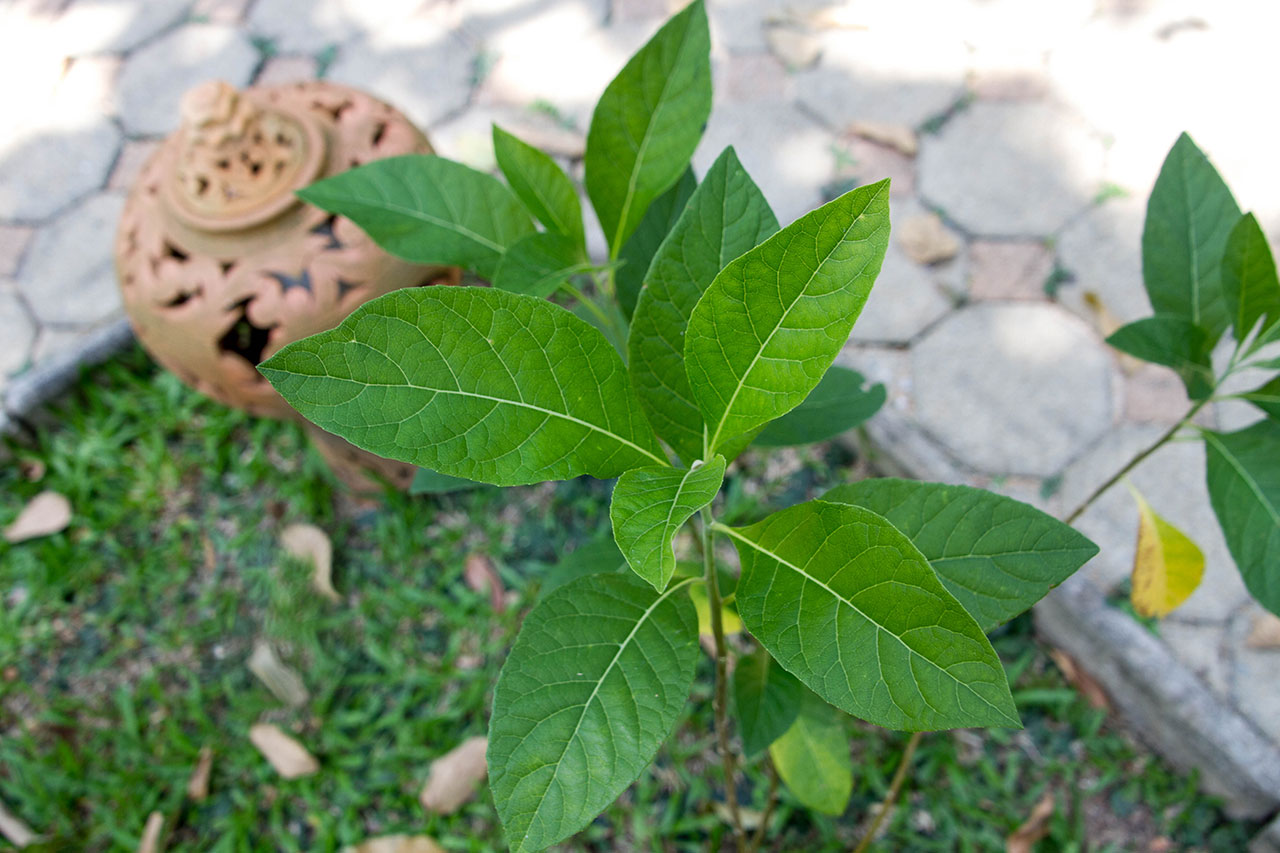 Gymnanthemum extensum, Bitterleaf tree, หนานเฉาเหว่ย