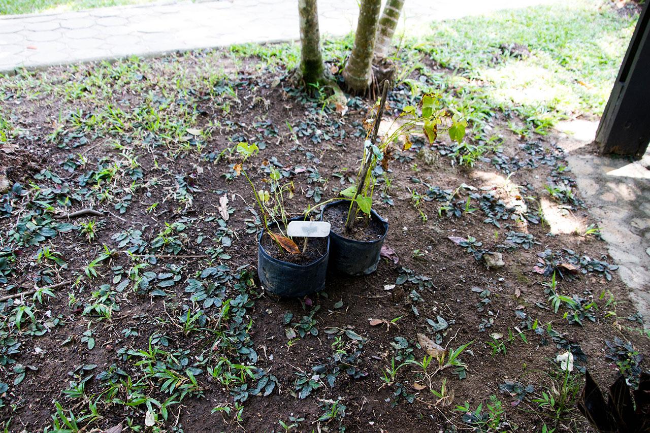 Houttuynia cordata Thunb, Chameleon Plant, พลูคาว