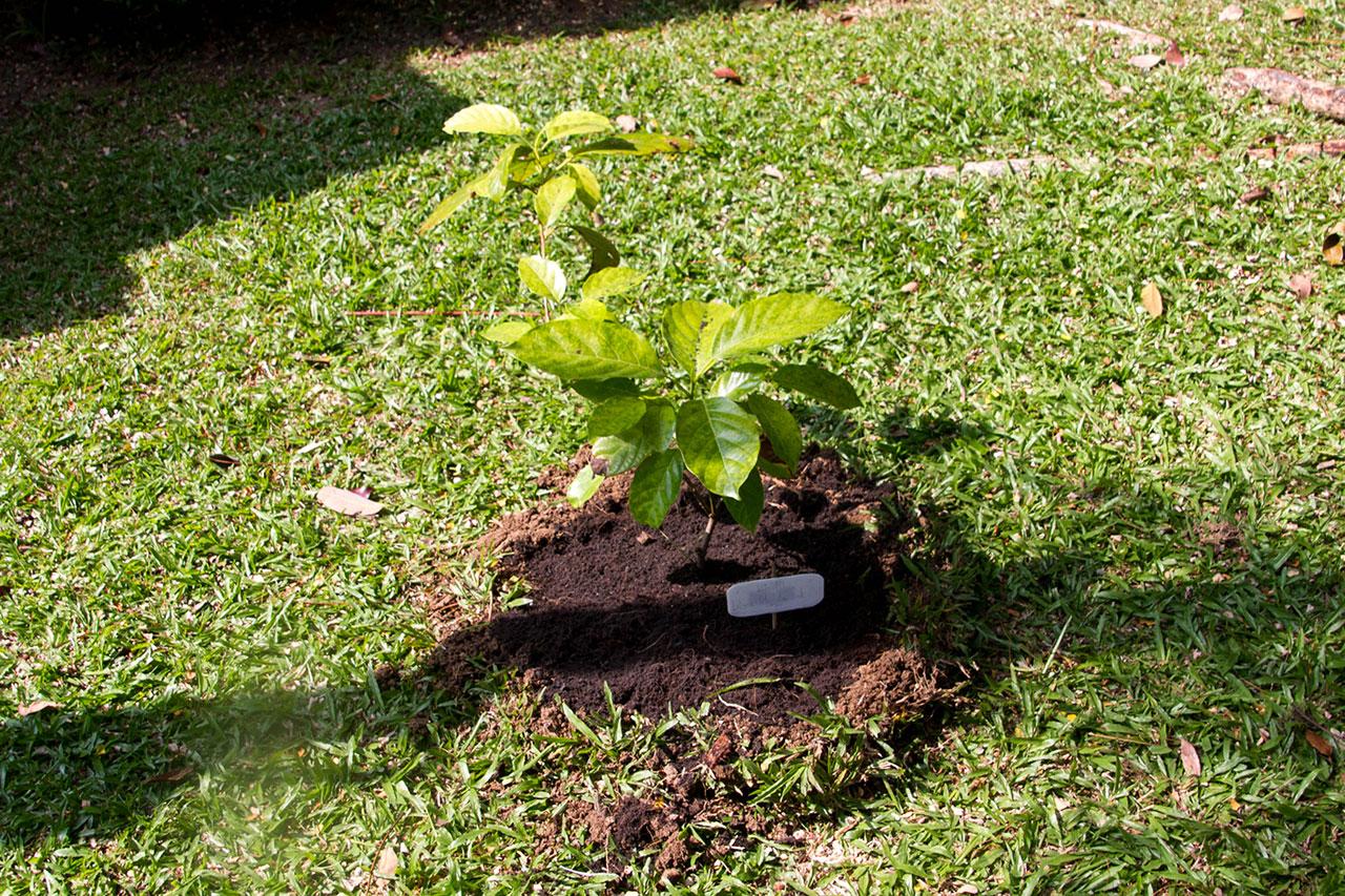 Litsea petiolata Hook.f., Thammang, แมงดา