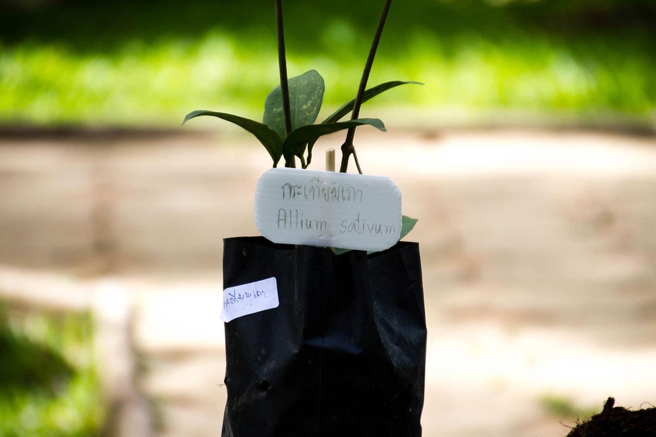 Mansoa alliacea, Garlic vine, กระเทียมเถา