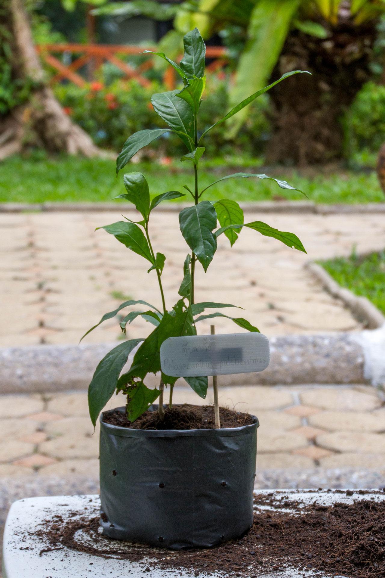 Phlogacanthus pulcherrimus