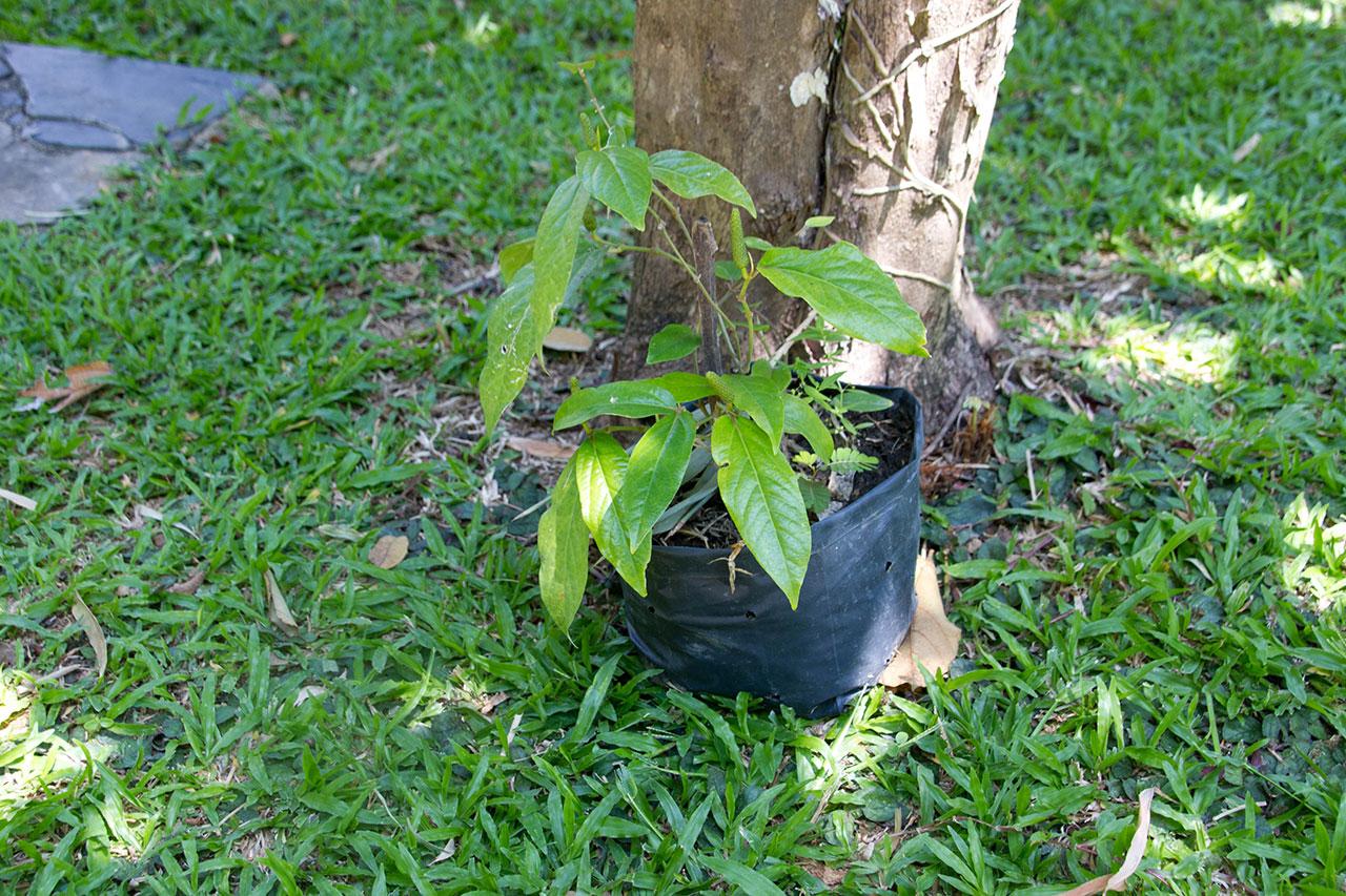 Piper retrofractum Vahl, Long pepper, ดีปลี