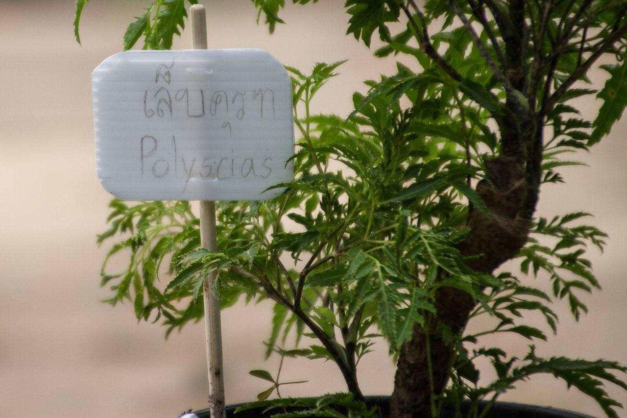 Polyscias fruticosa, Ming Aralia, เล็บครุฑ