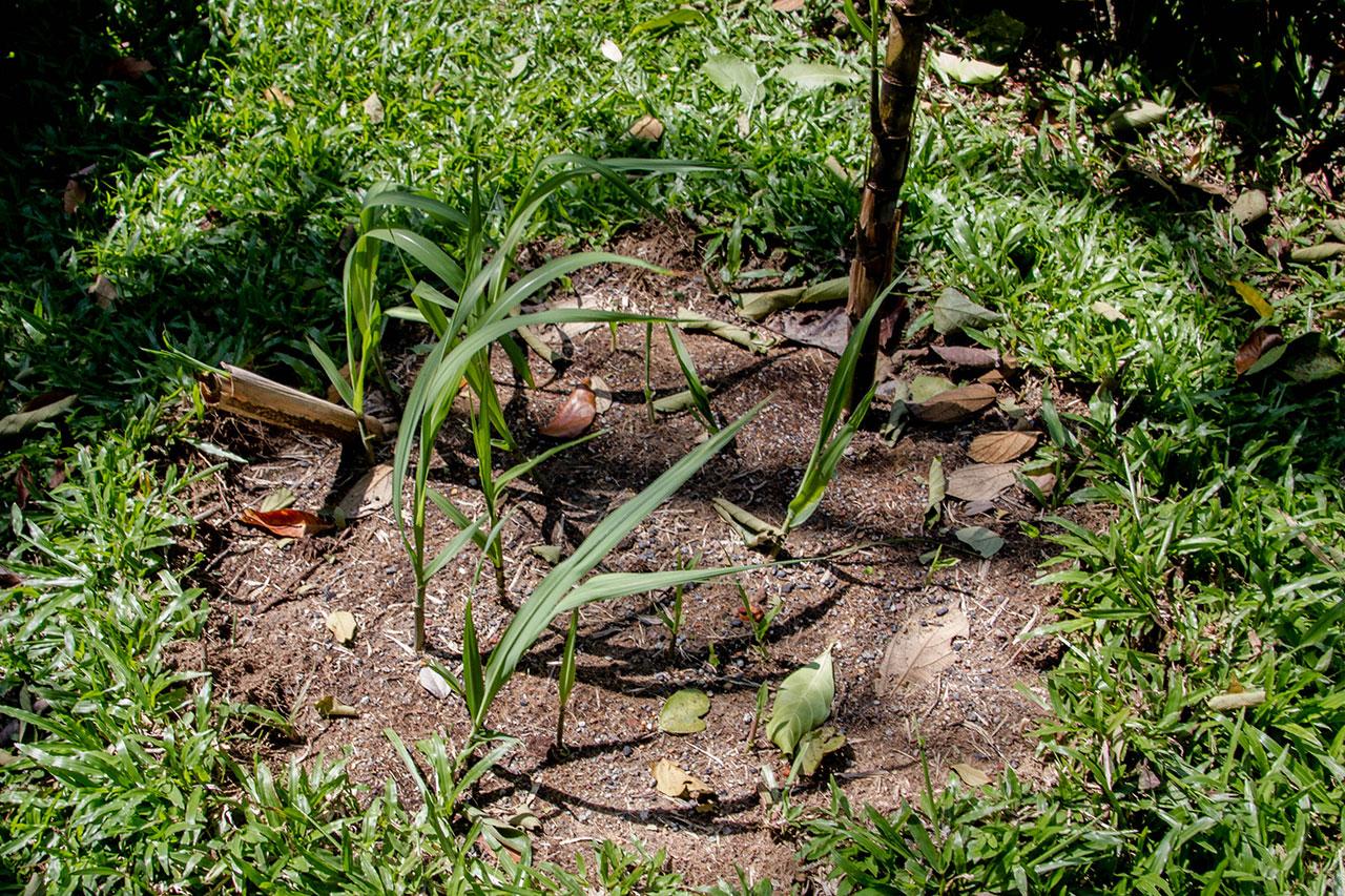 Saccharum officinarum, Sugar Cane