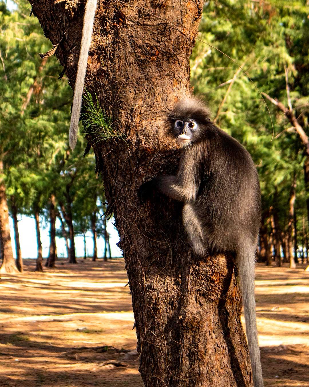 Dusky-leaf-monkey-Phraya-Nakhon-Cave